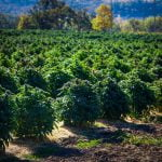 Growing Hemp and State Requirements
