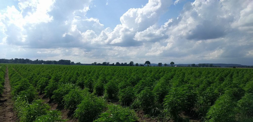 Driftless Extracts USDA Certified Organic Hemp Field