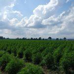 Driftless Extracts USDA Certified Organic Hemp Field